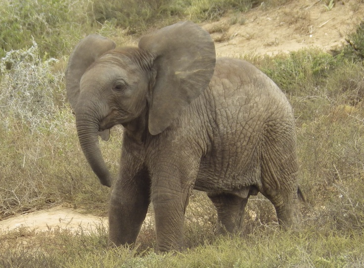 Baby Elephant. Addo Elephant Park, South Africa. Photography by Wayne Visser. Copyright 2013.