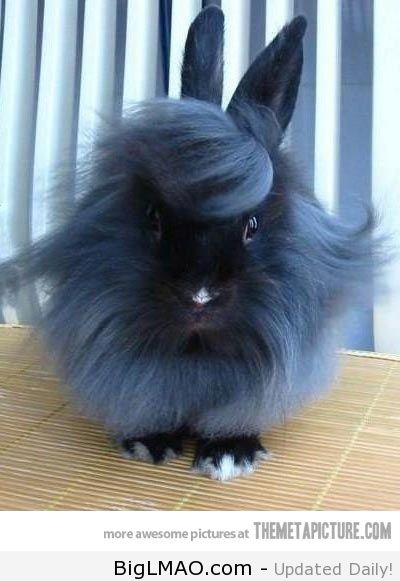 lionhead bunny.....I think this is the most stylish bunny I've ever seen
