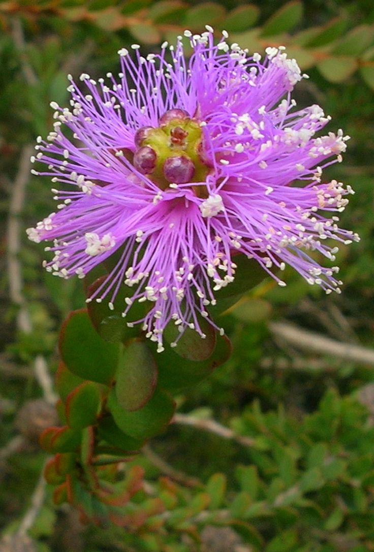 Showy Honey-myrtle, Pink Melaleuca (Melaleuca nesophila) Shrub or small tree endemic to Albany in Western Australia.