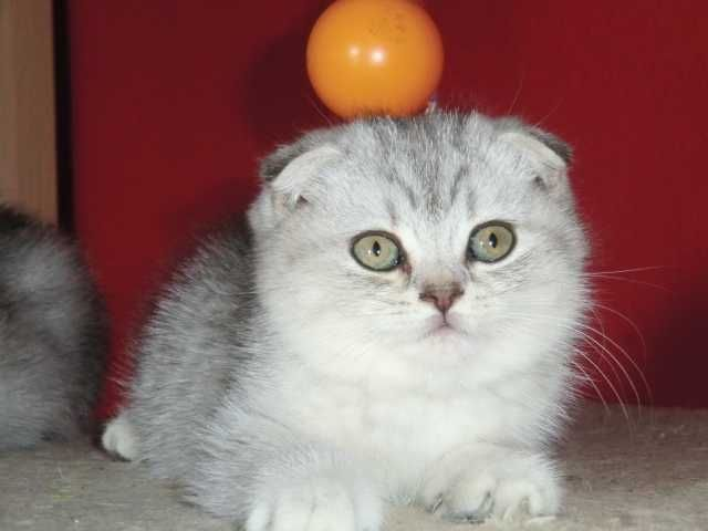 Scottish Fold Kittens for Adoption pictures fold cat