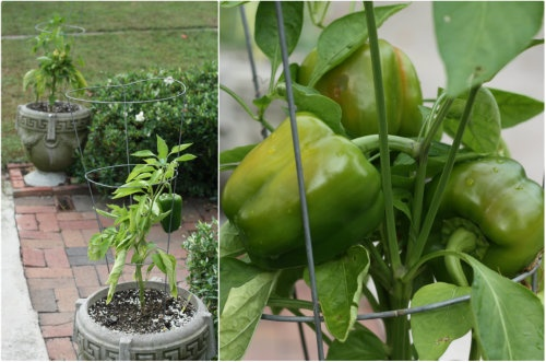 Peppers in planters.