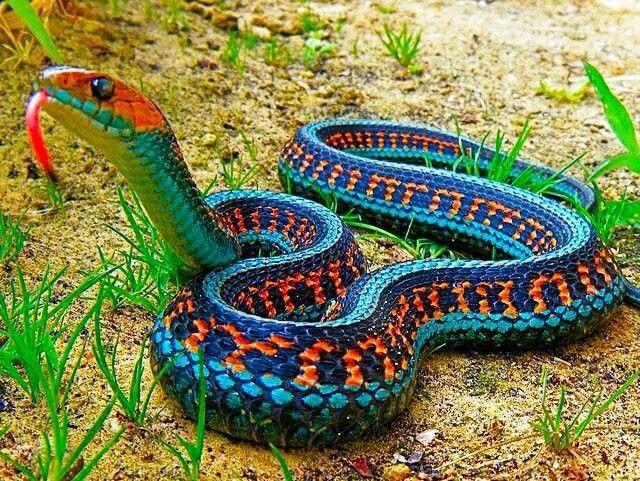 Garter Snake, beautiful