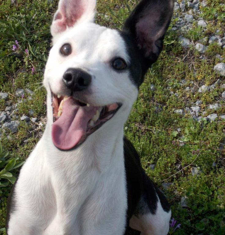 Meet Titan, a Petfinder adoptable Jack Russell Terrier Dog   Lewisburg, TN   Titan was dropped off from River Ridge Dr on 3/17/15. He appears to be a small Terrier mix and we...