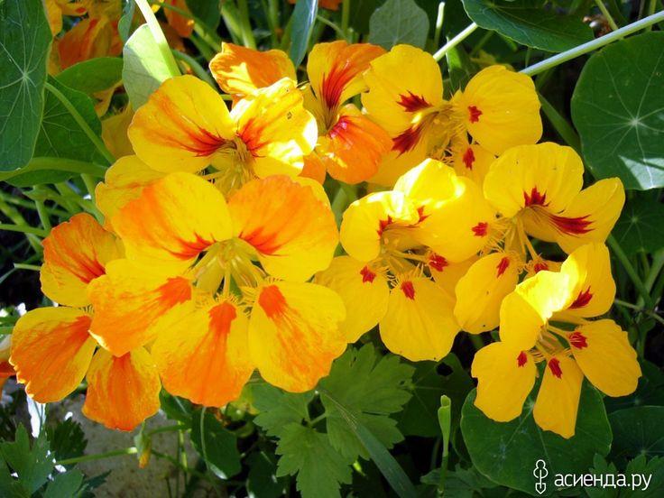 Спасаемся от насекомых при помощи растений - укусы, насекомые, Растения, дачные растения