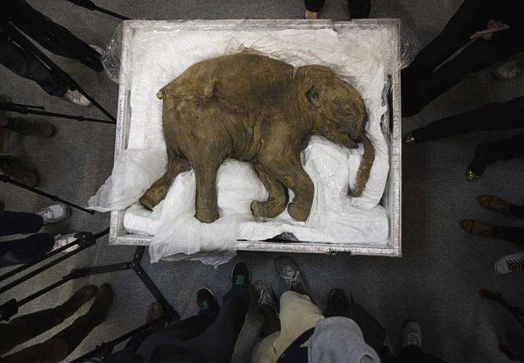 Hongkong, China, 10. April 2012:  Ljuba, ein außerordentlich gut erhaltenes, mumifiziertes Mammut-Baby wird in Hongkong der Presse vorgestellt. Das vor 40.000 Jahren im Alter von ca. einem Monat verendete Tier wurde 2007 von einem Rentierzüchter auf der russischen Jamal-Halbinsel gefunden und wird derzeit in Hongkong ausgestellt.
