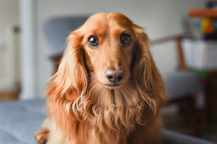The Complete Long Haired Dachshund Dog Breed Guide Dachshunds