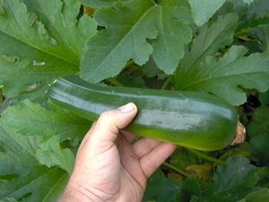 Pick zucchini when 6-7 in. long.  This tells when and how to harvest.