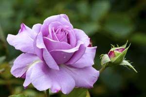 Cómo disminuir las ojeras con agua de rosas