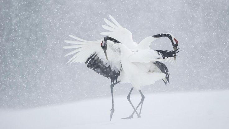 Elles sont la grâce incarnée et l'oiseau symbole de la région d'Hokkaido. La grue japonaise (Grus japonensis, 鶴) fascine les Japonais depuis des siècles. Associées à la vie éternelle chez le peuple aïnou (pionniers du Japon), son plumage noir et blanc représente le yin et le yang chez les Chinois. Leur population était tombée à …