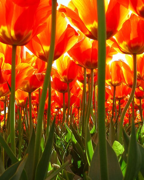 Tulips from a bug's eye view: Orange, Color, Beautiful, The Netherlands, Tulips, Flowers, Photo, Garden