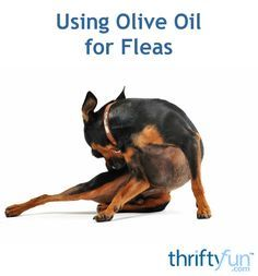 Olive oil is a great natural flea remedy. It is a great flea treatment for cats and small dogs. Learn more about olive oil for fleas in this guide.