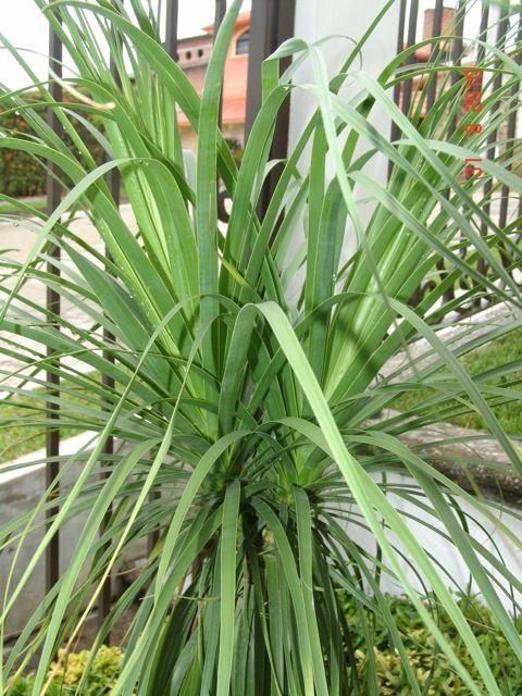 9 best plantas images on pinterest plants growing - Planta pata de elefante ...