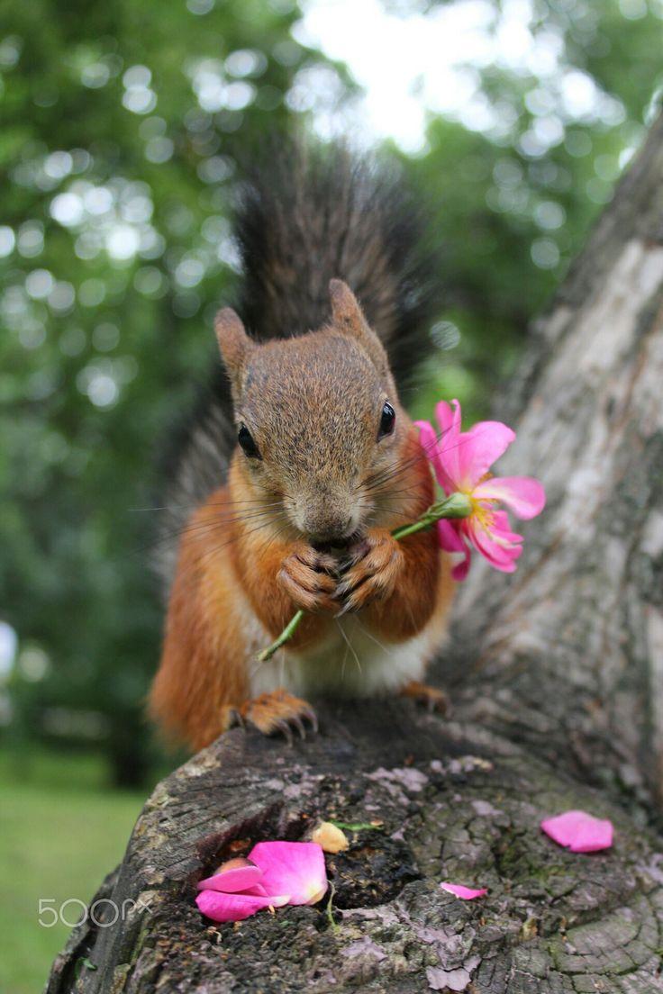 best 25 fox squirrel ideas on pinterest domesticated silver fox