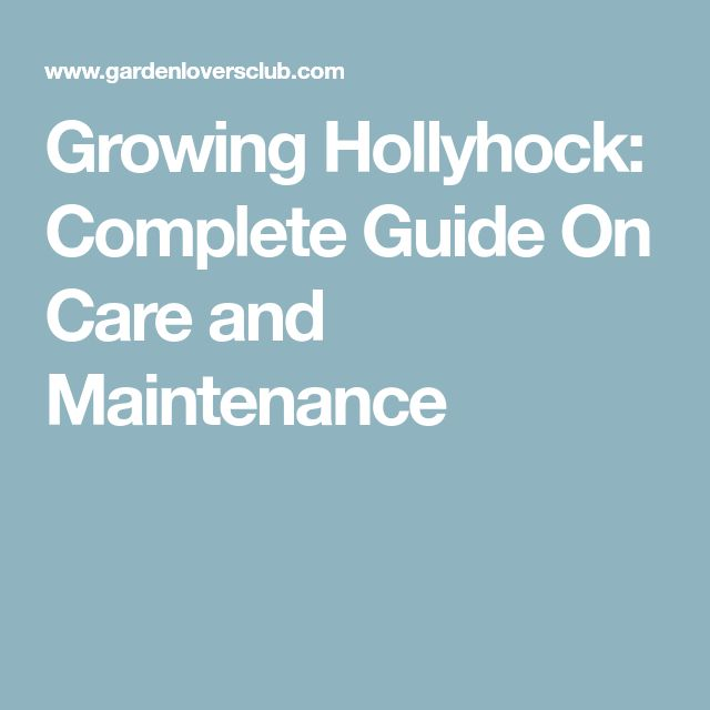 Growing Hollyhock: Complete Guide On Care and Maintenance