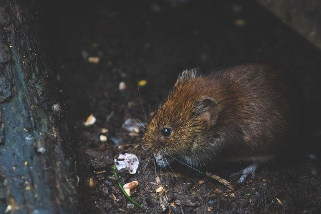 Dry Ice And The Problem Of Rats Getting Rid Of Mice Mouse Traps Rats
