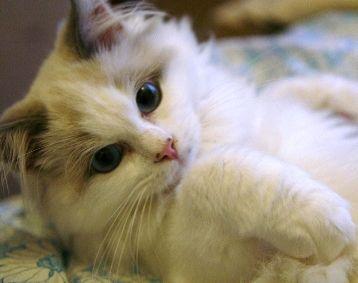 Ragdoll Cat Breeders - #catbreeds - More Ragdoll Cats Breeds at Catsincare.com!