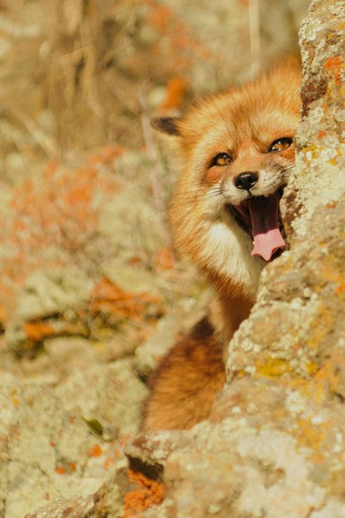 ternpest:  American Red Foxby Anne-Marie Kalus