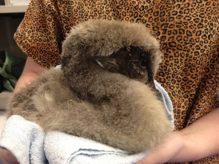 #AnimalRescue - Our Ambulance Officers rescued a lone cygnet on a lake. Only 4 weeks old, this little black swan was lethargic and unwell with no sign of her family. She was brought in for a check-up. The vets immediately noticed she couldn't walk, she also had pneumonia, and was malnourished. Harlow is now with a carer to be rehabilitated, and hopefully she will be able to walk with relative ease. If you want to help us rescue more animals like Harlow, visit…