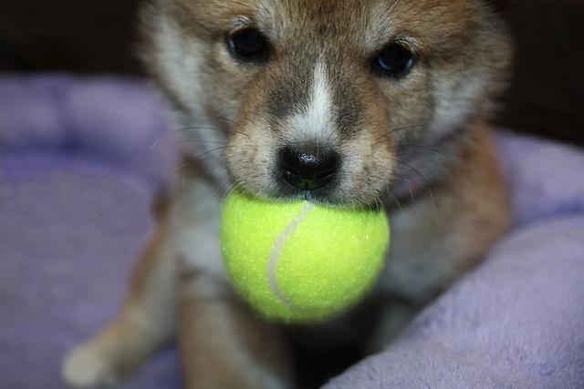 puppies avery shiba