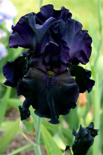 Black Iris. Used to have these in our garden growing up. My favorite Iris in addition to the dark brown one.