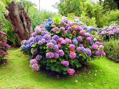 Посадка и уход за садовой гортензией: зимостойкие сорта + фото