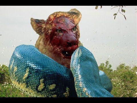Giant Anaconda vs. Lion, Tiger, Leopard - Most Savage Fight of Snake