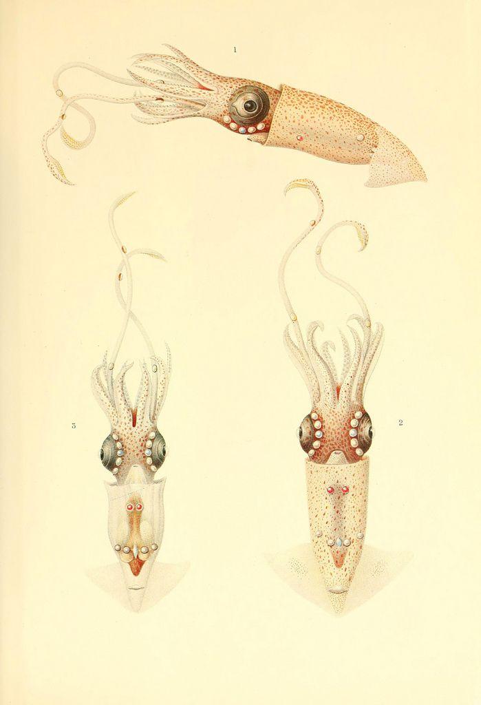 Dessins et illustrations de céphalopodes dessin illustration poulpe cephalopode 03 bonus