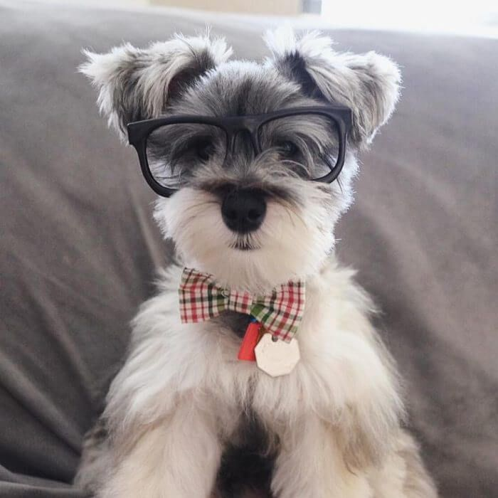 20 Reasons To Never Ever Adopt A Schnauzer Dog Breed Schnauzer Puppy Schnauzer Dogs Miniature Schnauzer Puppies