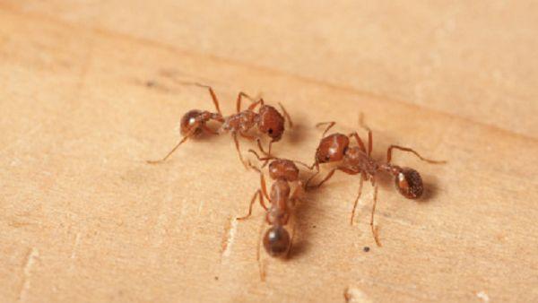 formiche come eliminarle