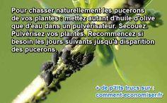 Comment éliminer les pucerons naturellement ? Avec de l'huile d'olive, tout simplement. :-)  Découvrez l'astuce ici : http://www.comment-economiser.fr/anti-pucerons-huile-olive.html?utm_content=bufferbdb56&utm_medium=social&utm_source=pinterest.com&utm_campaign=buffer