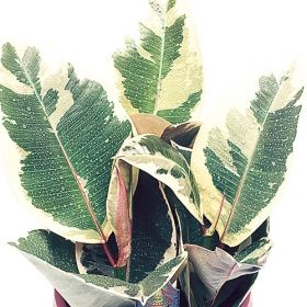 Robusta Teneke Ficus- One of over 400+ varieties from Exotic Angel Plants®