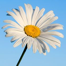 "HowStuffWorks ""Perennial Flowers Image Gallery""Shasta Daisy"