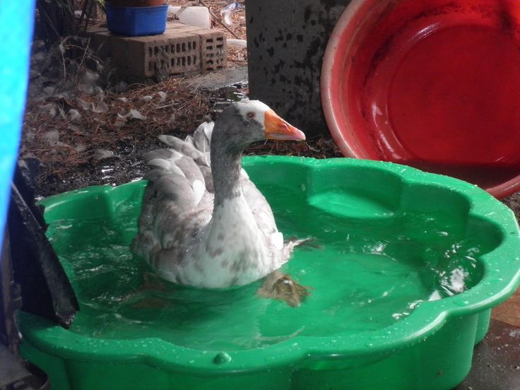 Jimmy the goose loves his new bath..