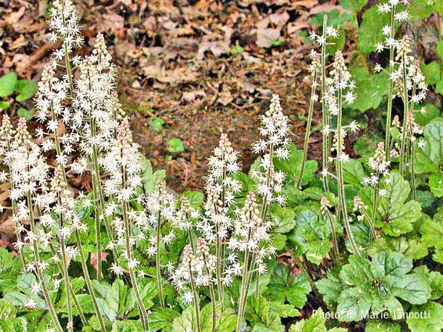 41 best images about garden groundcover on pinterest for No maintenance plants perennials