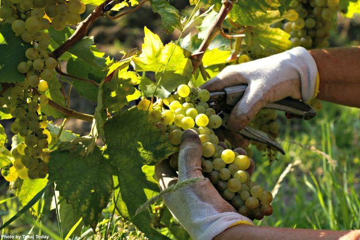 TOKAJ HARVEST IN FULL SWING http://www.tokajtoday.com/2016/09/12/tokaj-harvest-in-full-swing/