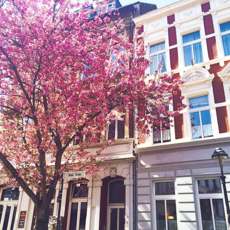 Altstadt in Bonn Cherryblossom Avenue