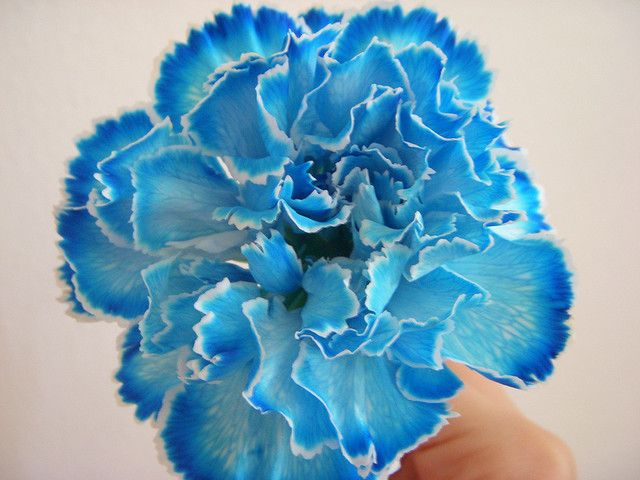 Blue and white carnations | First tattoo | Pinterest ...