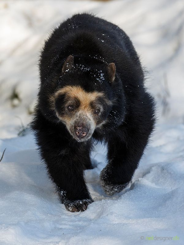 spectacled bear - spectacled bear walking in the snow