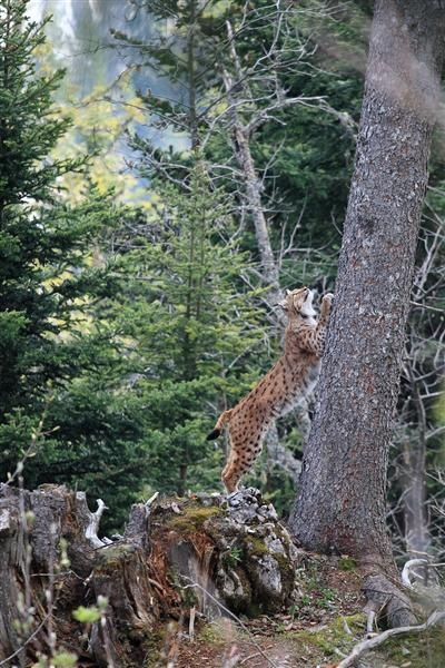 A lynx photographed in the forest near our village ski resort Praz de Lys - Sommand. Its eyeing up some birds in the tree tops. Photo Mickael RENAUD