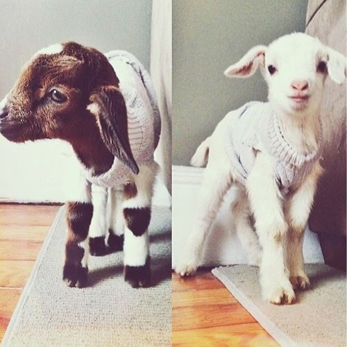 Some seriously cute kids! babygoatsandfriends:  Baby goat in sweater emergency!!!!