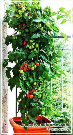 томаты в домашних условиях в горшке
