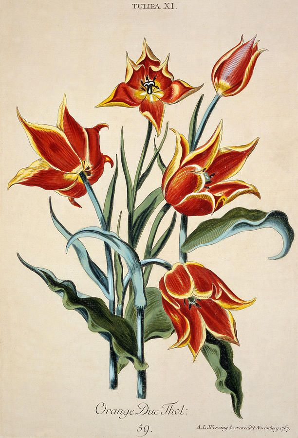 Orange Tulip, from 'Opera Botanica' by Conrad Gesner (1516-65) 1767 (colour engraving)