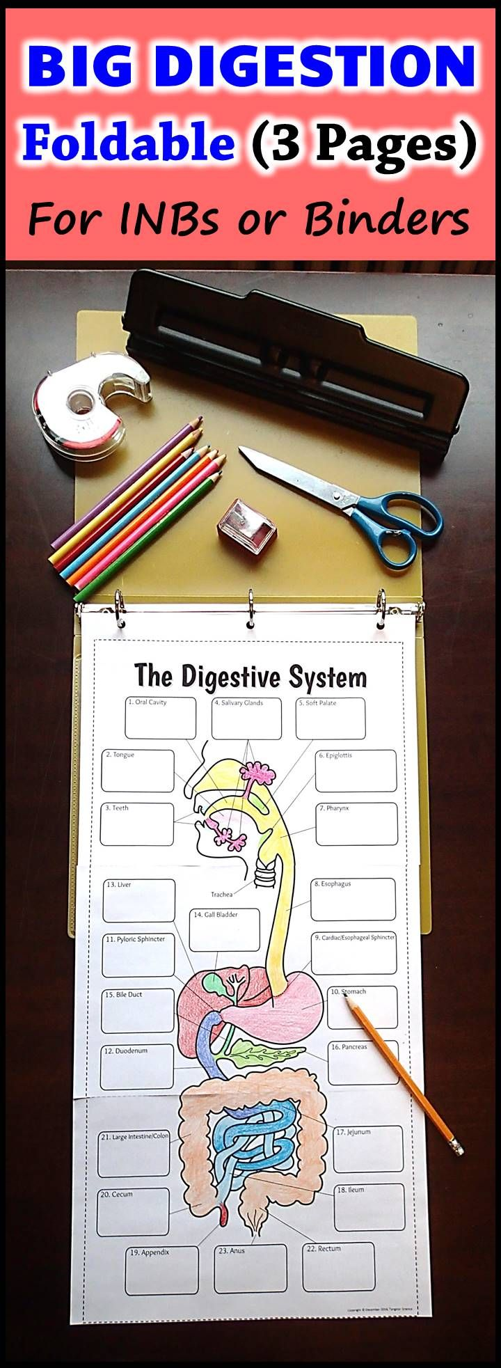 This Big Digestion Foldable is made from three pages taped together and is perfect for coloring and for recording a description of the functions. It can be inserted into a binder or put into an interactive notebook.  Students love the large, clear format.  Once completed, the large foldable can also be displayed in the class as a poster.