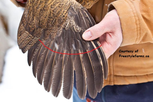 Trim this length off of the 10 primary feathers