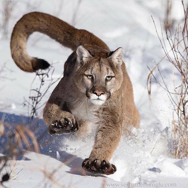 Charging Cougar