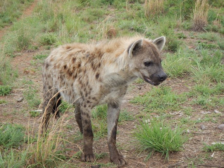 south africa animal spotted hyena 1
