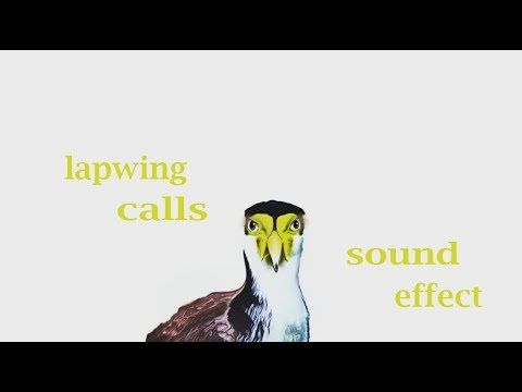The Animal Sounds: Lapwing Calls - Sound Effect  - Animation