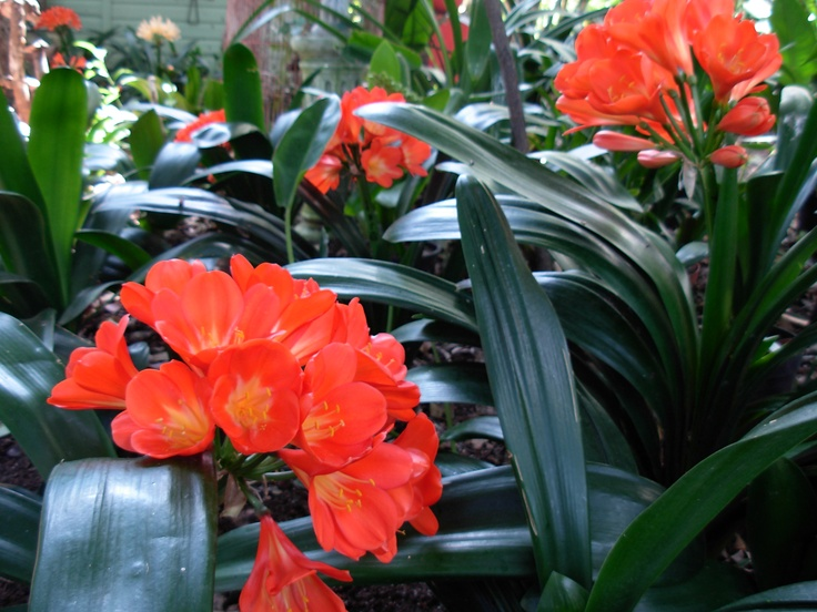 Red clivias in the garden