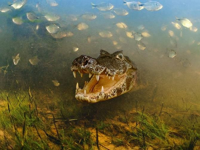 Schools of fish abandon the Pantanal's shallow pools and swim toward deeper waters often into the mouths of hungry caimans, Brazil. Photo: Luciano Candisani, National Geographic.