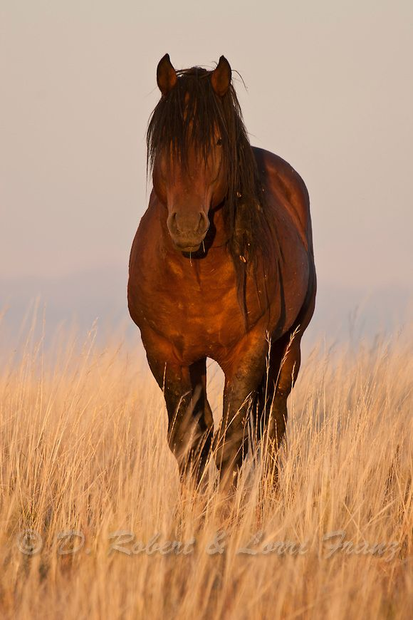Wild mustang in Wyoming in late afternoon